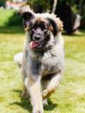Leonberger dog Stock Photo
