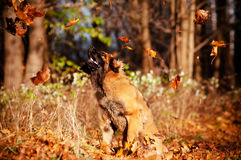 Leonberger dog catching falling leaves Stock Photo