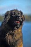 Leonberger dog close-up Royalty Free Stock Photography