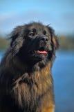 Leonberger dog close-up Royalty Free Stock Photography