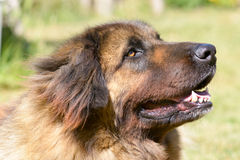 Leonberger dog Royalty Free Stock Images