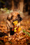 Leonberger dog holding autumn leaves Royalty Free Stock Image