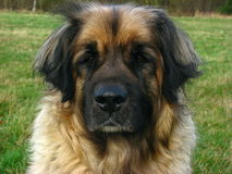 Leonberger dog lose-up. Beautiful Leonberger dog sitting in a meadow Royalty Free Stock Photography