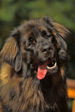 Leonberger dog lose-up Stock Photography