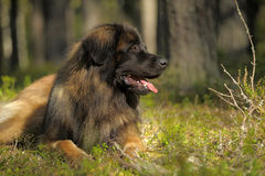 Leonberger dog lose-up Stock Image