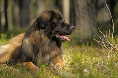 Leonberger dog lose-up Stock Image