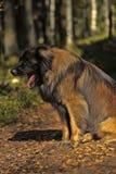 Leonberger dog lose-up Stock Photos