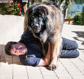 Leonberger dog and the master Stock Photos