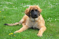 Leonberger dog on a meadow Royalty Free Stock Photos