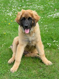 Leonberger dog on a meadow Stock Image