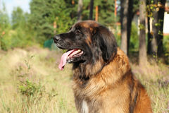 Leonberger dog. Outdoor portrait Royalty Free Stock Photography