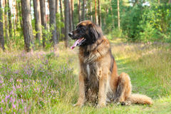 Leonberger dog, outdoor portrait Stock Photo