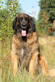 Leonberger dog, outdoor portrait Stock Photography
