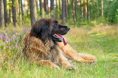 Leonberger dog, outdoor Royalty Free Stock Images