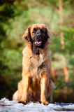 Leonberger dog portrait Stock Photos