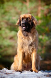 Leonberger dog portrait Stock Photography