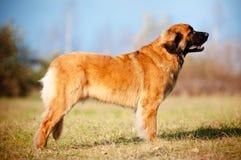 Leonberger dog portrait Royalty Free Stock Image