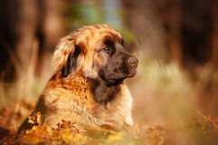 Leonberger dog portrait Stock Images