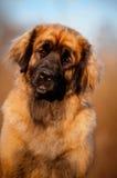 Leonberger dog portrait Stock Images
