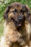 Leonberger dog Stock Images