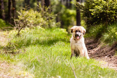 Leonberger dog puppy Stock Image
