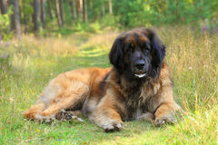 Leonberger dog resting on grass Stock Image