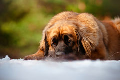 Leonberger dog resting outside Royalty Free Stock Photos