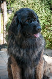 Leonberger dog sit in a patio Stock Images