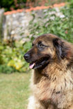 Leonberger dog Royalty Free Stock Photo