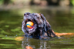Leonberger dog swims with a ball in the snout. In a lake Royalty Free Stock Photo