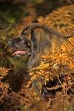Leonberger dog Stock Image