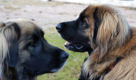 Leonberger Dogs. Profile of male Leonberger with female in foreground Royalty Free Stock Photos