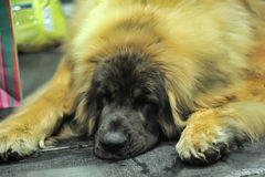Leonberger on exhibition of purebred dogs Royalty Free Stock Photos