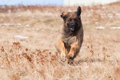 Leonberger fonctionnant Image stock