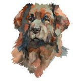 The Leonberger Dog portrait. Leonberger - hand painted, isolated on white background watercolor dog portrait stock illustration