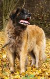 Leonberger Hund Lizenzfreies Stockfoto