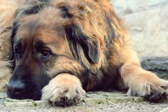 Leonberger hund Royaltyfri Bild