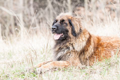 Leonberger-Hund Stockfotos