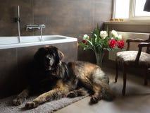 Leonberger hund i badrum Arkivfoto