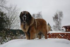 Leonberger hund som är stolt i snön Royaltyfri Foto