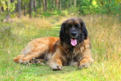 Leonberger hund, utomhus- stående Arkivfoton