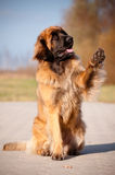Leonberger Hundeportrait angehobene Tatze Stockfoto