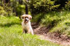 Leonberger-Hundewelpe Stockfoto