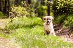 Leonberger hundvalp Fotografering för Bildbyråer