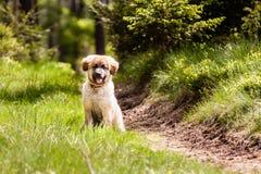 Leonberger hundvalp Arkivfoto