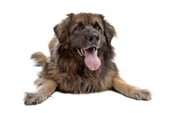 Leonberger isolated on white Stock Photo