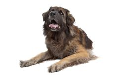 Leonberger isolated on white Royalty Free Stock Photography