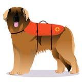 Leonberger lifesaverhund Royaltyfria Bilder