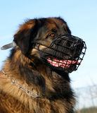 Leonberger and muzzle Stock Photos