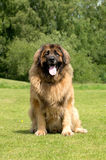 Leonberger. A portrait of a Leonberger in a field Stock Image